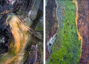 bronwyn-yellow-gum-1